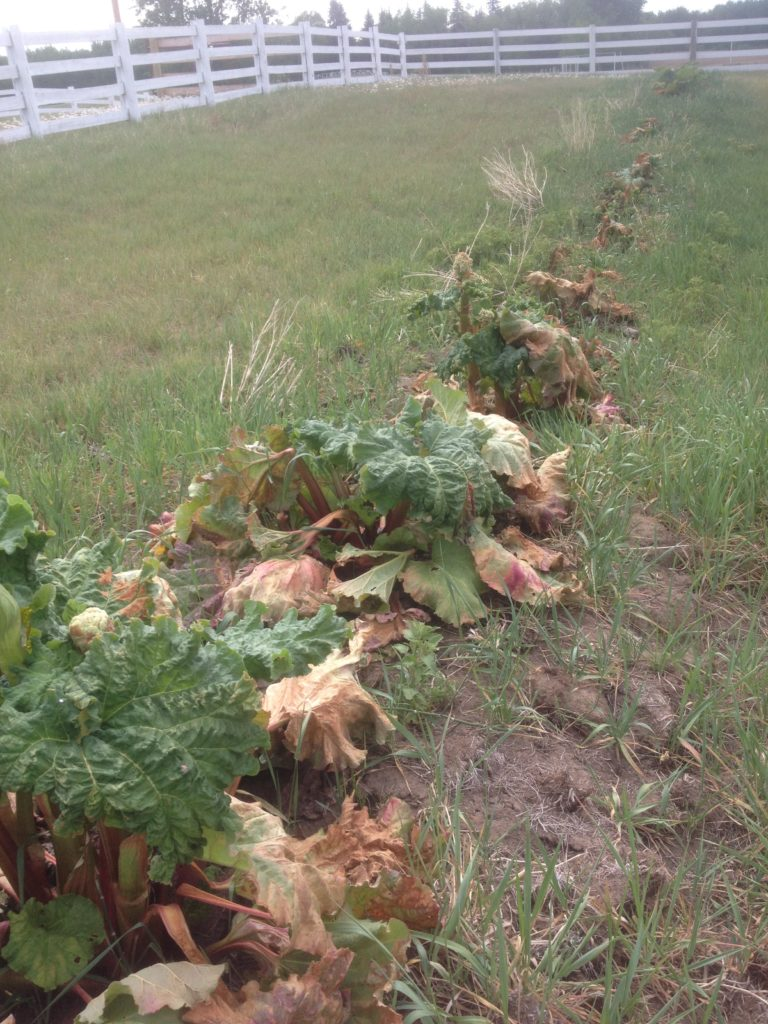Rhubarb Frost Damage - May 2016